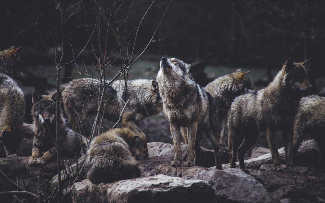 Werewolves of Rosebud